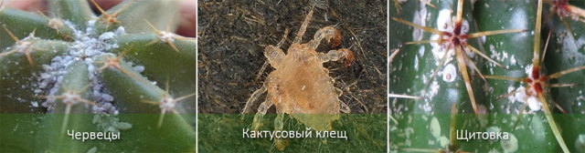 Эхинокактус Грузони - уход, виды, пересадка, размножение