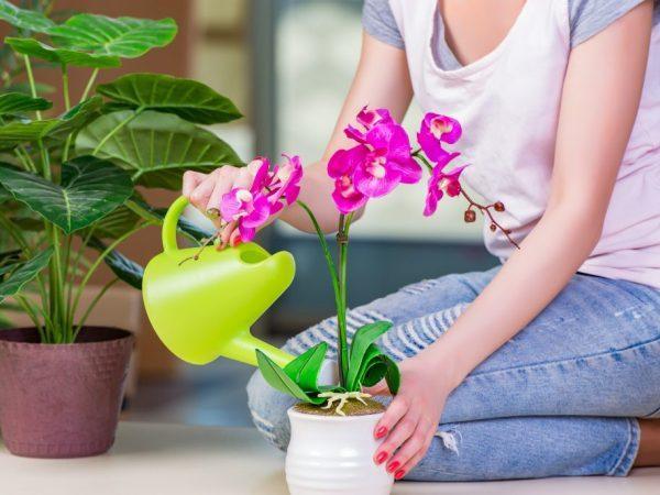 Мошки в орхидеях: как спасти любимый цветок?