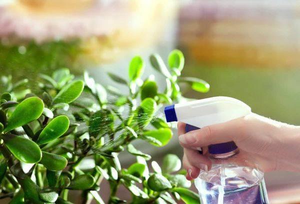 Крассула - уход в домашних условиях, советы профессиональных цветоводов