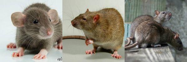 Как вывести крыс из дома доступными средствами?