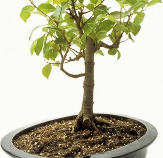 Шеффлера - разновидности, особенности выращивания и ухода в домашних условиях