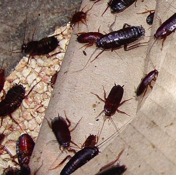 Черные тараканы в квартире: как избавиться народными средствами