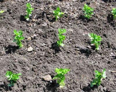 Когда убирать и как хранить корневой сельдерей зимой: полезные советы
