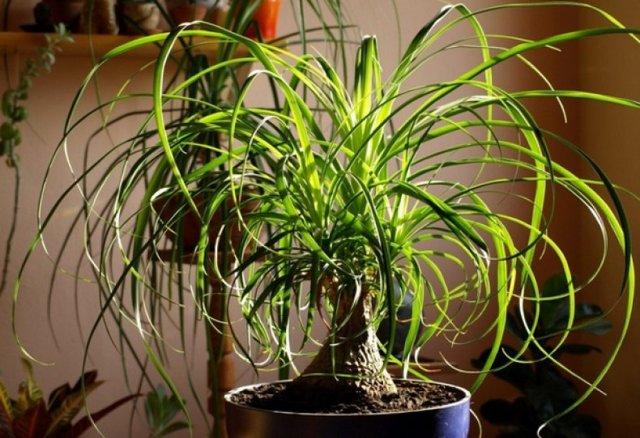 Нолина: уход в домашних условиях или как вырастить дома бутылочное дерево?