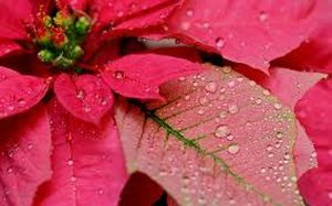 Пуансеттия прекрасная: уход, лечение, размножение, советы цветоводов