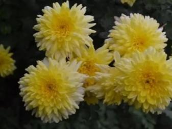 Как сохранить хризантемы зимой: проверенные способы